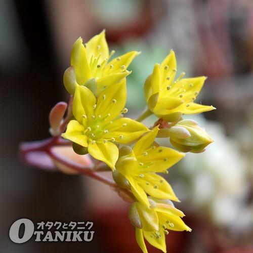 ハンメリーの花1