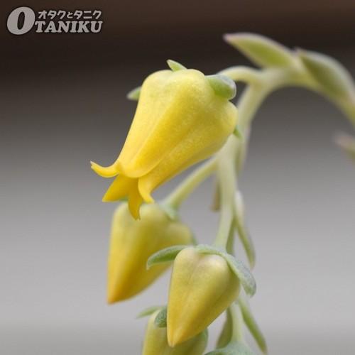 プレリンゼの花2