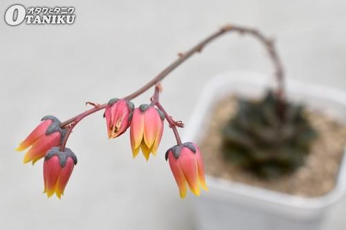 ディオニュソスの花2