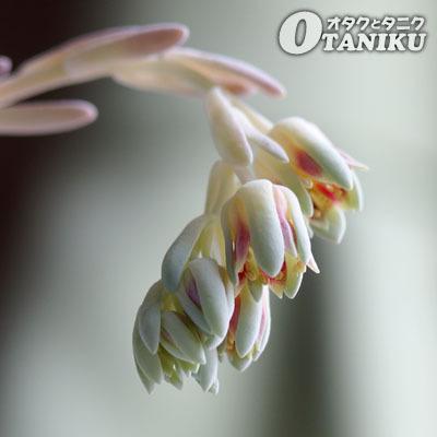 ベイビーフィンガーの花1