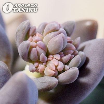 紫麗殿の花芽1