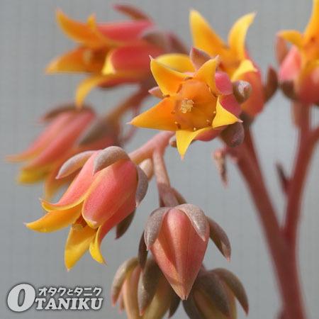 華美人の花2