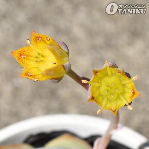 グリムワンの花2