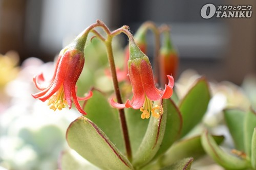 エリサエの花1