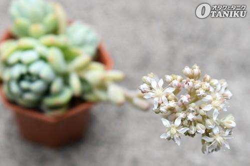 ロッティーの花1